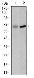 PLK1 Antibody (MA5-17152) in Western Blot