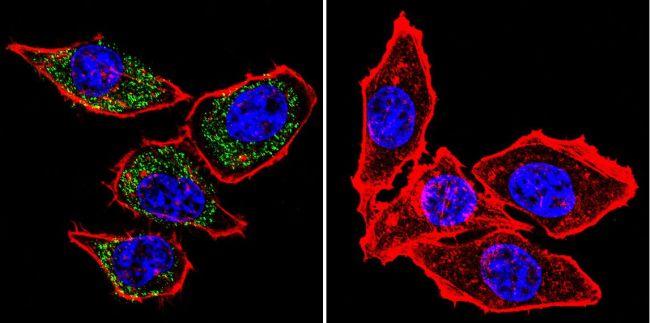 PMCA ATPase Antibody (MA3-914) in Immunofluorescence