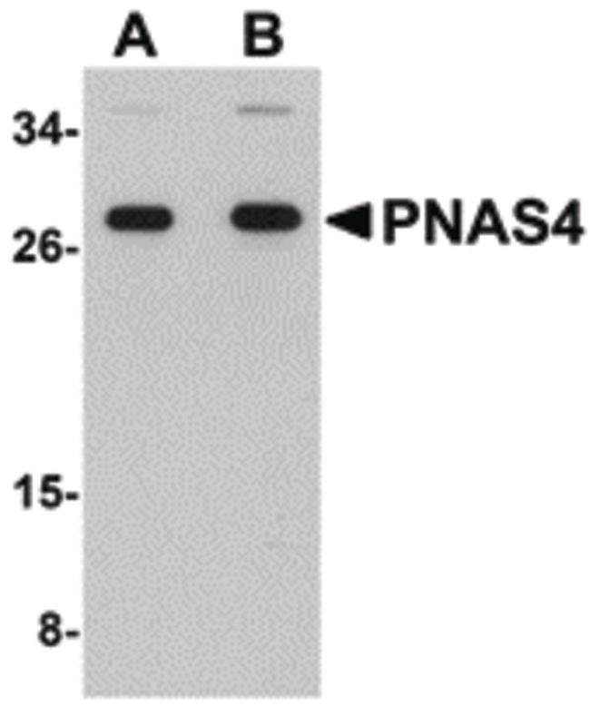 PNAS4 Antibody (PA5-20763) in Western Blot