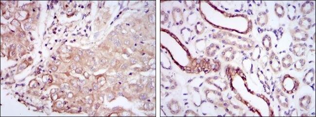 PODXL Antibody (MA5-15846)
