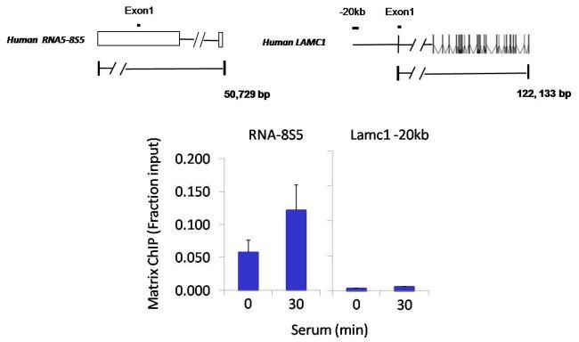 POLR1C Antibody (PA5-12455) in ChIP assay