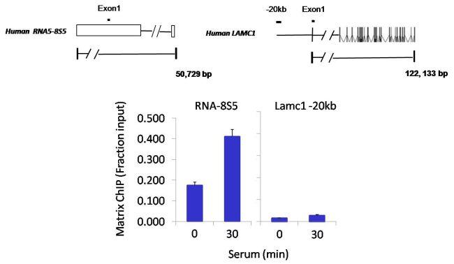 POLR1D Antibody (PA5-30575) in ChIP assay