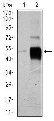POU3F2 Antibody (MA5-17153) in Western Blot