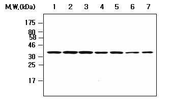 PP1 beta Antibody (MA5-17240) in Western Blot