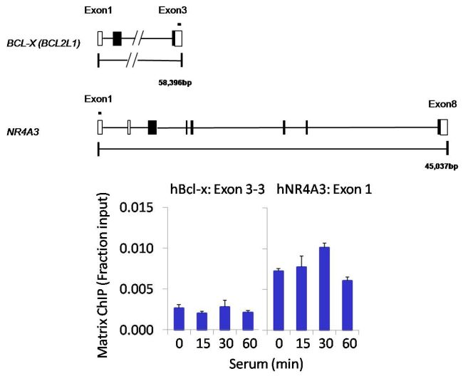 PPM1A Antibody (PA5-29275) in ChIP assay