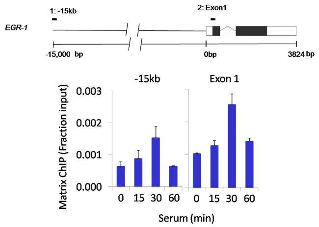 PP1 beta Antibody (PA5-28225) in ChIP assay