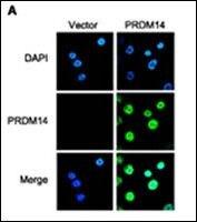 PRDM14 Antibody (PA5-11303) in Immunofluorescence