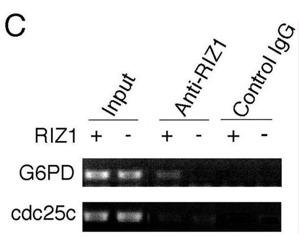 PRDM2 Antibody (MA5-11144) in ChIP assay