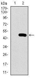 PSAP Antibody (MA5-17159) in Western Blot