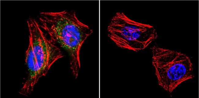 PSD95 Antibody (MA1-046)