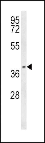 PTGER3 Antibody (PA5-26140) in Western Blot