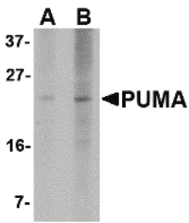 PUMA Antibody (MA5-15752)