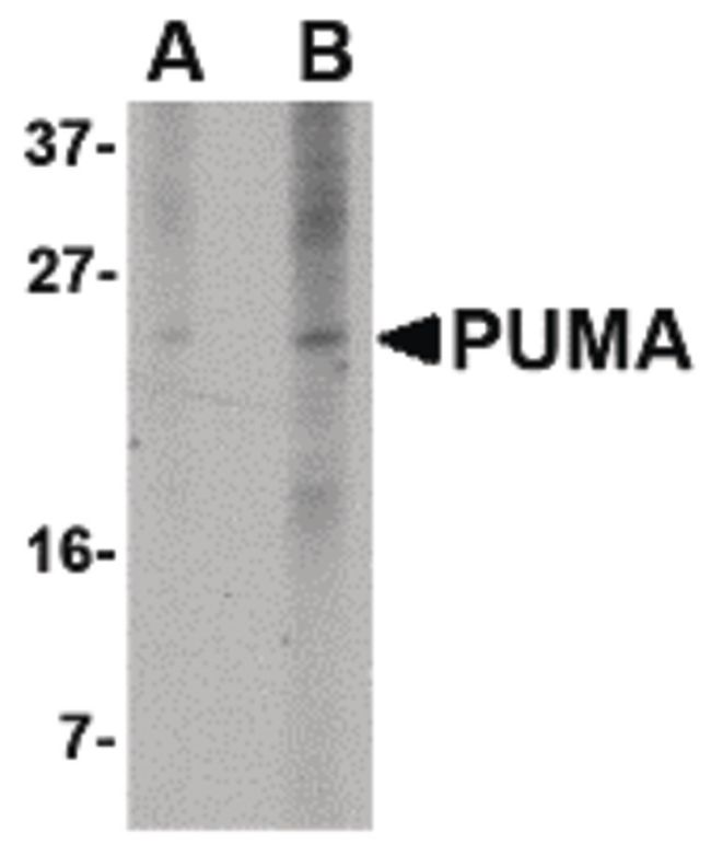 PUMA Antibody (MA5-15754) in Western Blot