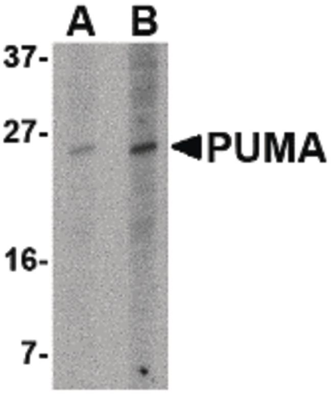 PUMA Antibody (MA5-15755)