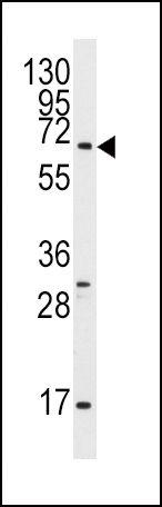 GPR37 Antibody (PA5-13413) in Western Blot