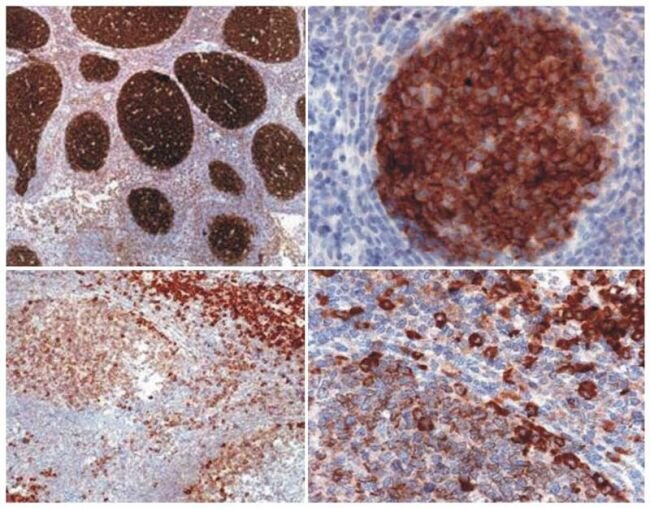 PAG1 Antibody (MA1-19289)