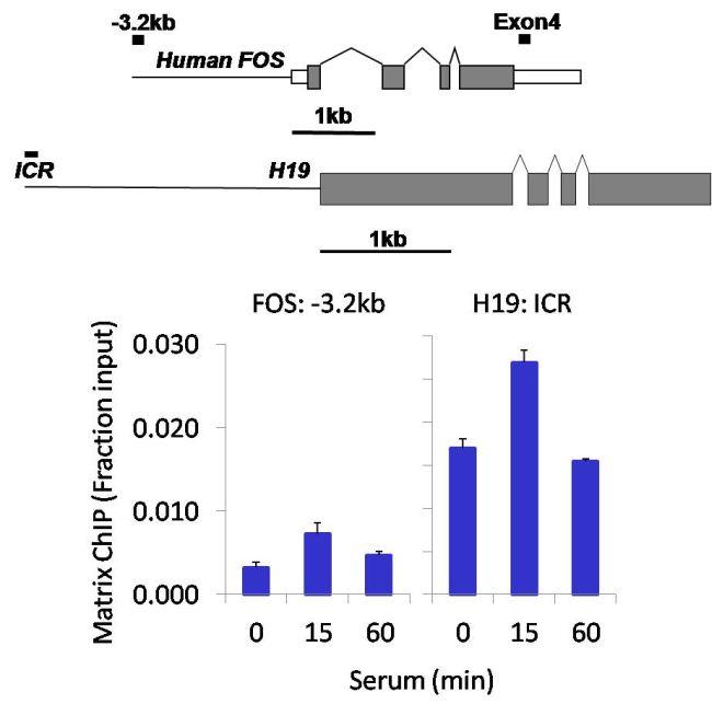 PAX3 Antibody (710178) in ChIP assay
