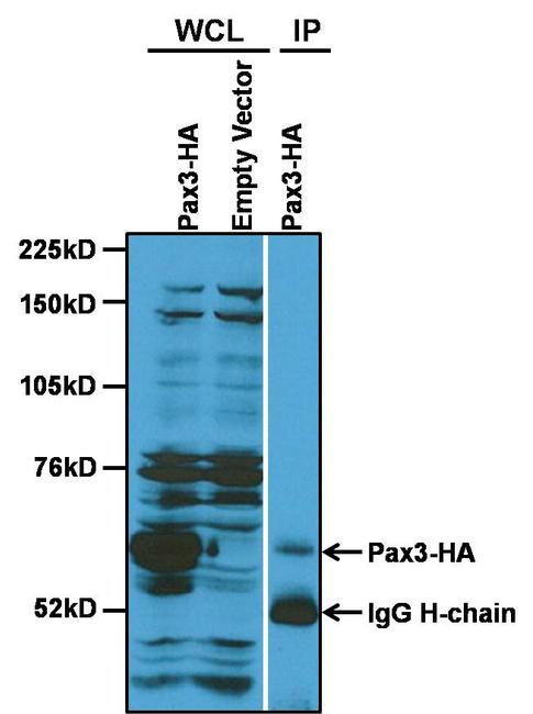 PAX3 Antibody (PA1-107) in Immunoprecipitation