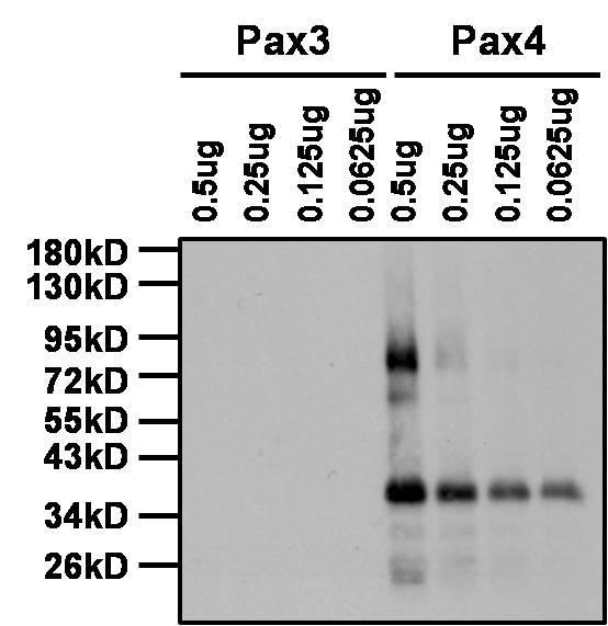 PAX4 Antibody (PA1-108) in Western Blot