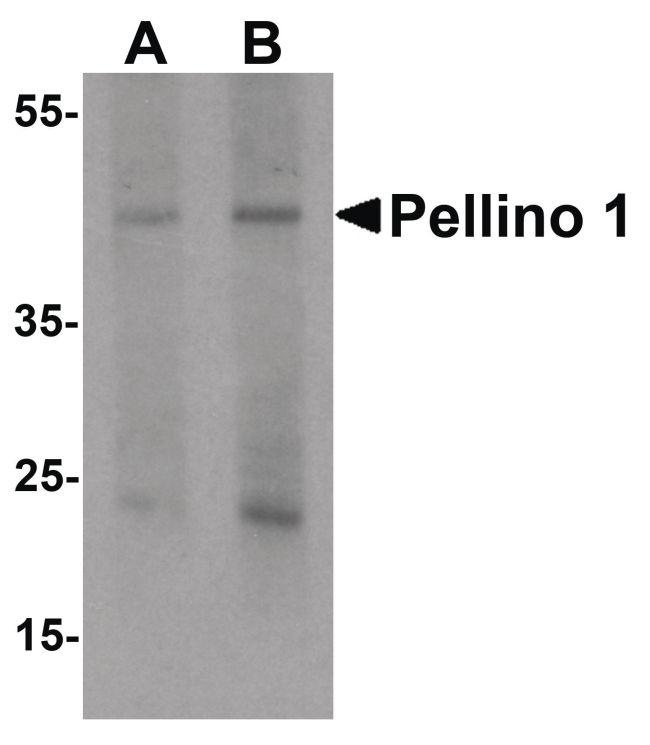 Pellino 1 Antibody (PA5-34465) in Western Blot
