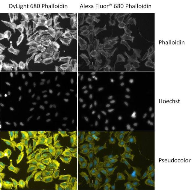 Phalloidin Control (21839) in Immunofluorescence