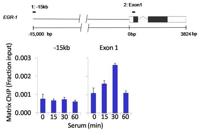 Phospho-AKT1 (Ser473) Antibody (MA1-20325) in ChIP assay