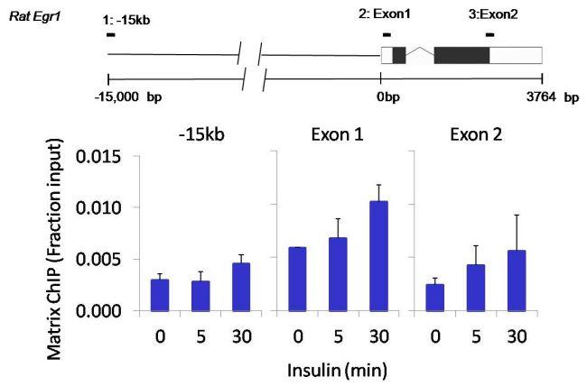 Phospho-ERK1/ERK2 (Thr185, Tyr187) Antibody (700012) in ChIP assay