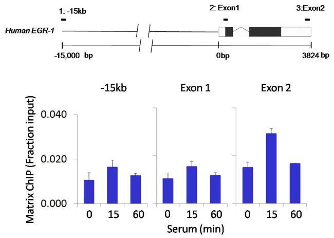 Phospho-FAK2 (Tyr402) Antibody (700632) in ChIP assay