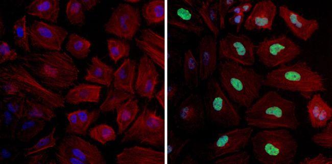 Phospho-Histone H3 (Ser10) Antibody (PA5-17869) in Immunofluorescence