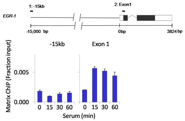 Phospho-PTEN (Ser380) Antibody (PA5-17826) in ChIP assay