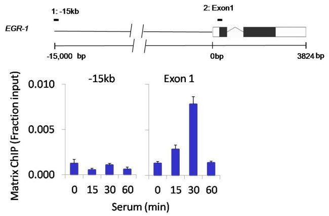 Phospho-RSK3 (Thr356, Ser360) Antibody (PA5-17554) in ChIP assay