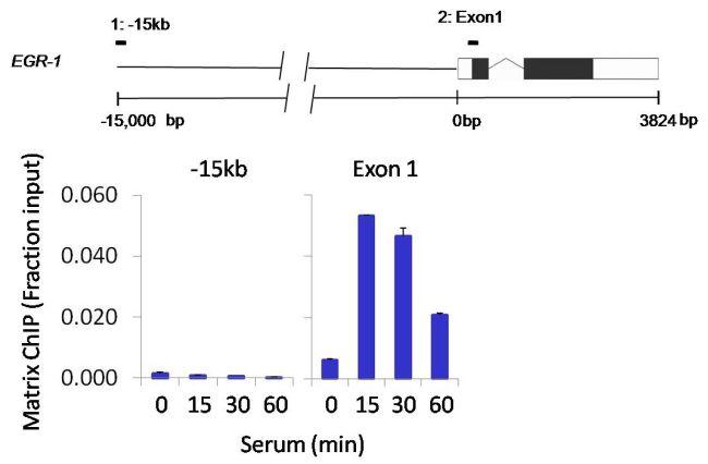 Phospho-POLR2A (Ser2, Ser5) Antibody (PA5-17563) in ChIP assay