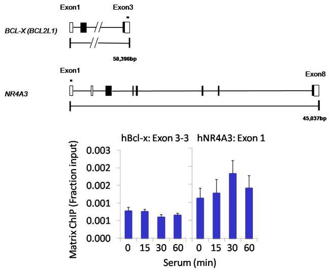 Phospho-c-Abl (Tyr89) Antibody (MA5-14796)