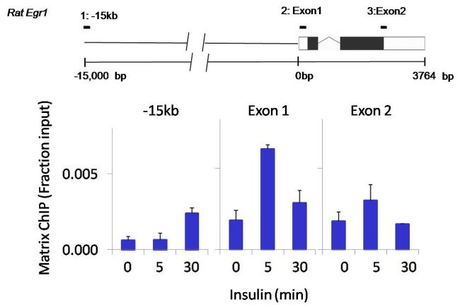 Phospho-p70 S6 Kinase (Thr389) Antibody (710095) in ChIP assay