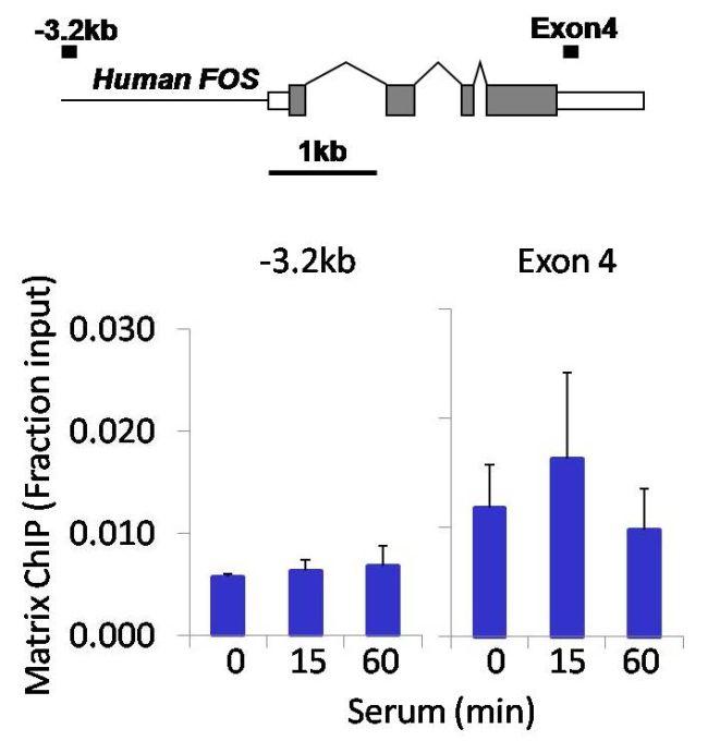 Phospho-p70 S6 Kinase (Thr421, Ser424) Antibody (701083) in ChIP assay