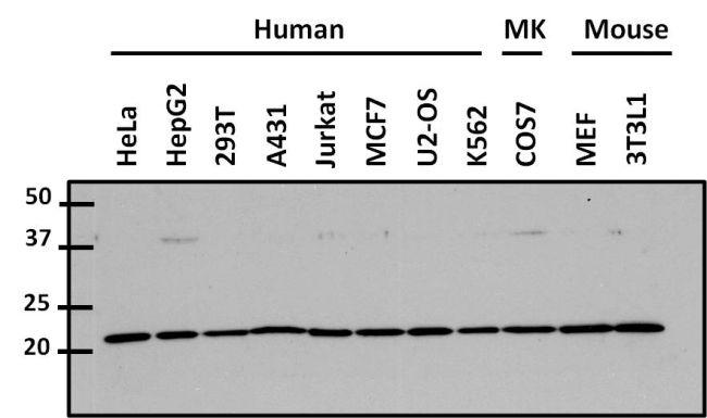 Cdc42 Antibody (PA1-092X) in Western Blot