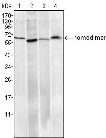 Pirh2 Antibody (MA5-15596) in Western Blot