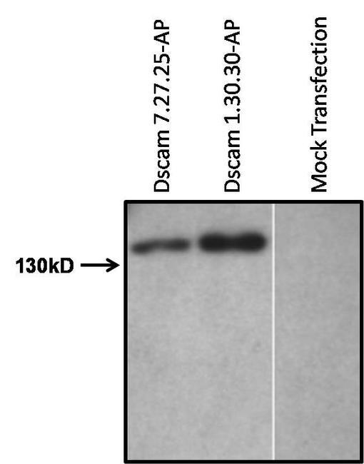 Placental Alkaline Phosphatase Antibody (MA5-12694)