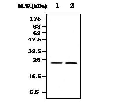 RRAS Antibody (MA5-17211)