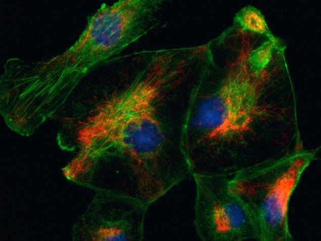 Goat anti-Rabbit IgG (H+L) Secondary Antibody, Alexa Fluor 594