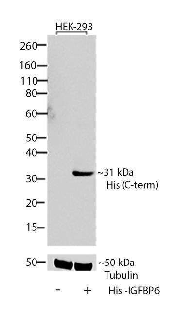 6x-His Tag Antibody (R931-25) in Western Blot
