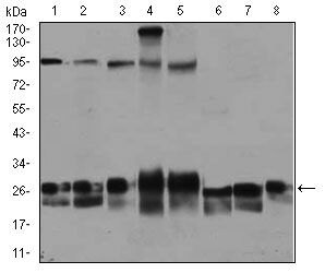 RAB4A Antibody (MA5-17161) in Western Blot