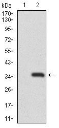 RAG1 Antibody (MA5-17163)