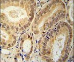 RBM24 Antibody (PA5-25520) in Immunohistochemistry