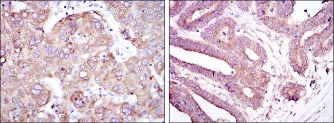 RBP4 Antibody (MA5-15838) in Immunohistochemistry