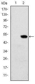 RBP4 Antibody (MA5-15838) in Western Blot