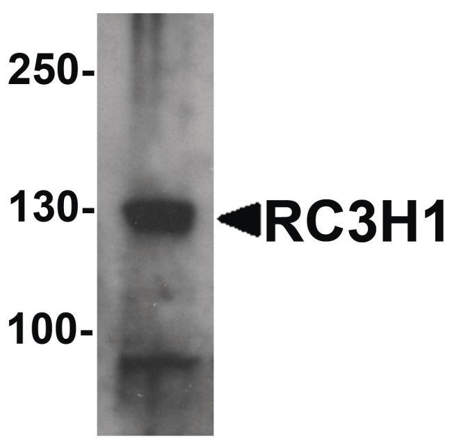 RC3H1 Antibody (PA5-34519) in Western Blot