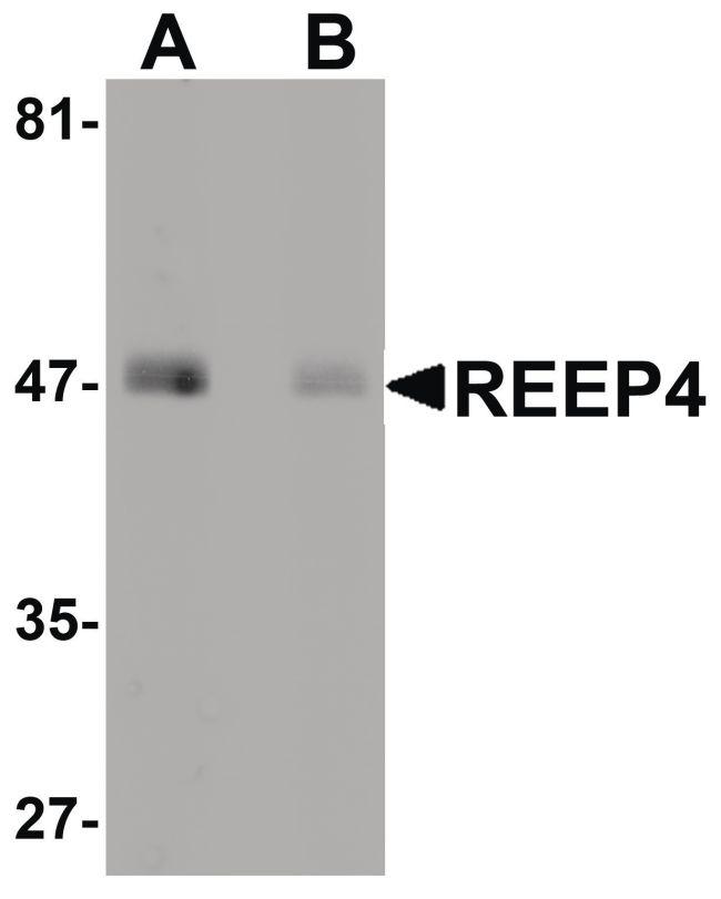 REEP4 Antibody (PA5-20885) in Western Blot