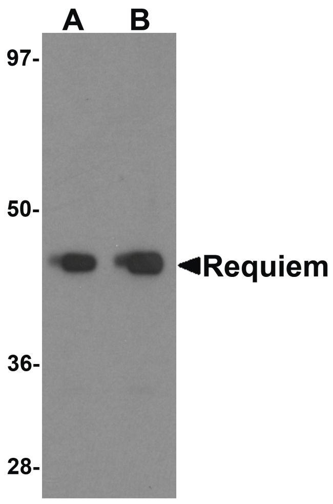 DPF2 Antibody (PA5-21079) in Western Blot
