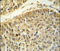 RERE Antibody (PA5-26953) in Immunohistochemistry